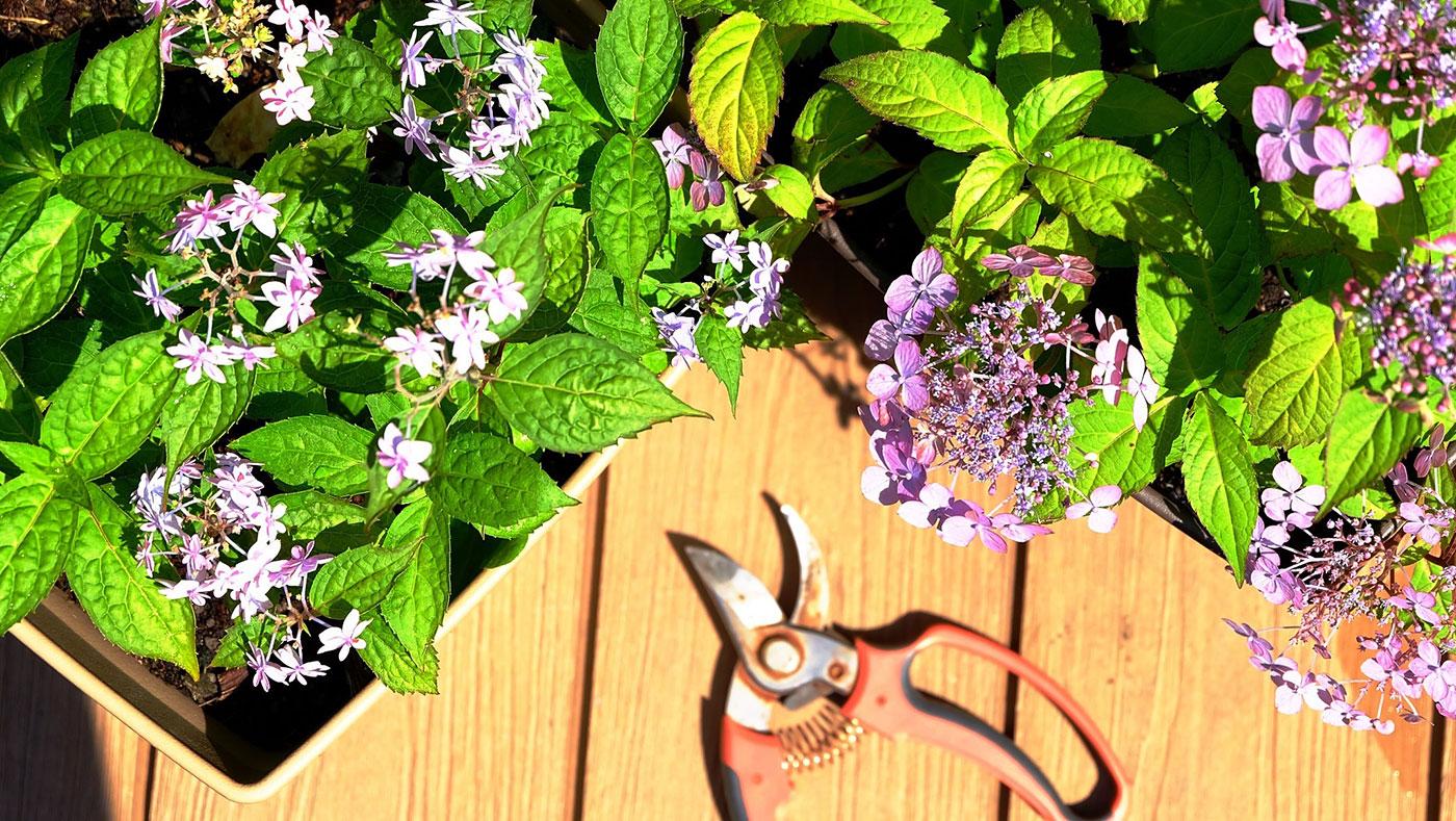 剪定 紫陽花