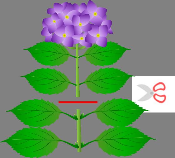 の 時期 の 紫陽花 剪定