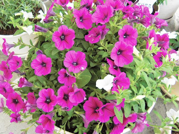 ペチュニア|花の育て方|野菜・花の育て方|アースガーデン ~園芸用品~|アース製薬株式会社