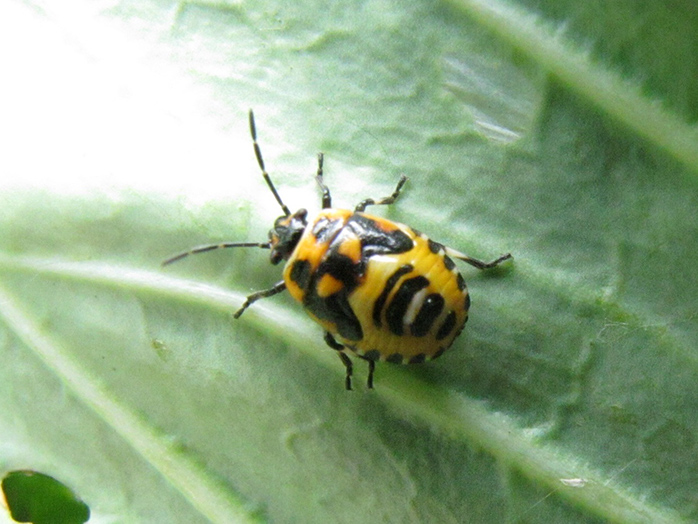 な みたい てんとう 虫 虫 黒い小さいてんとう虫みたいな虫