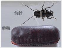 クロゴキブリ(幼虫)|お家の虫を判定する|アース害虫駆除