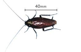 クロ ゴキブリ 幼虫