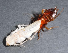 幸運を呼ぶ白いゴキブリめずらしい種類も一挙公開閲覧注意