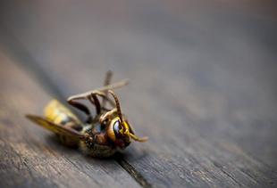 スズメバチ 活動 時間