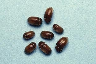 食品に小さい茶色い虫が発生したらシバンムシかも?主な発生源と対策 ...