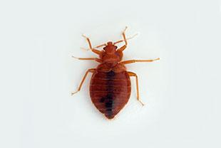 トコジラミはカメムシ目に属する吸血昆虫